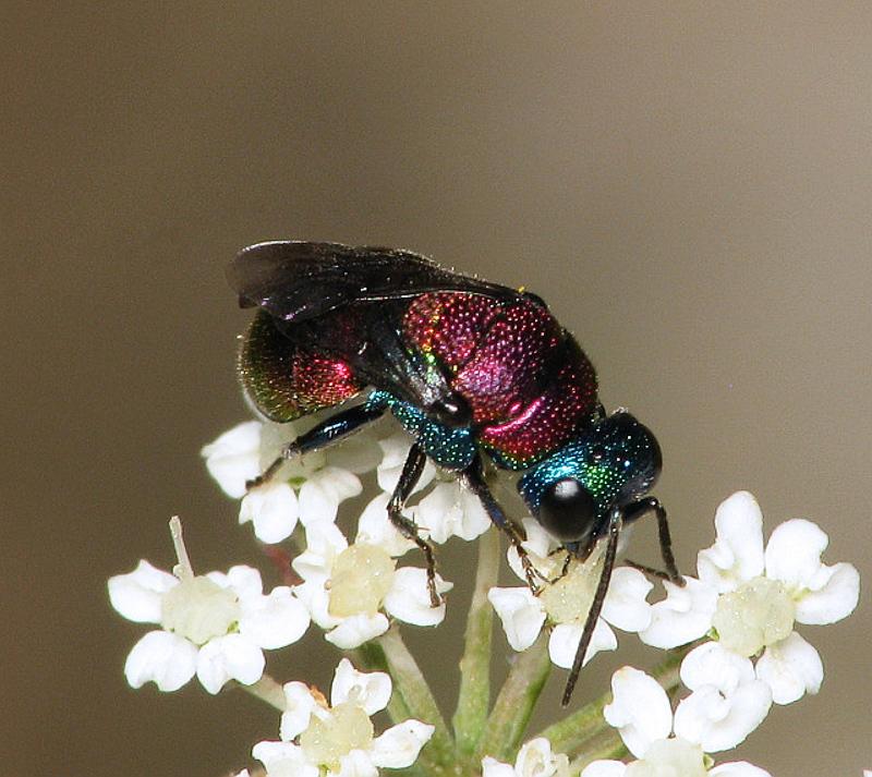 Aculeate Wasps : (Chrysididae) Holopyga jurinei