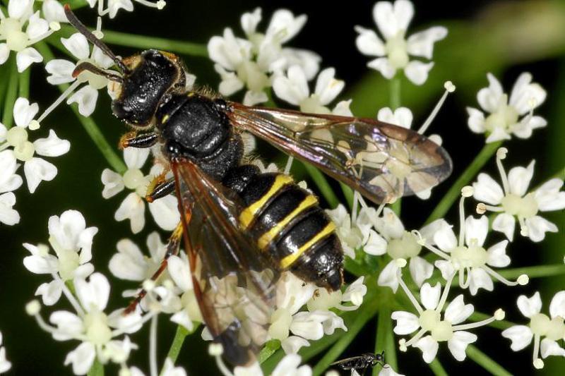 Aculeate Wasps : (Crabronidae) Cerceris quadrifasciata