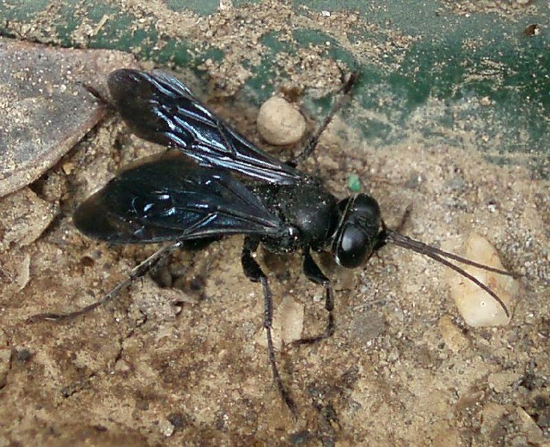 Aculeate Wasps : (Crabronidae) Liris atratus