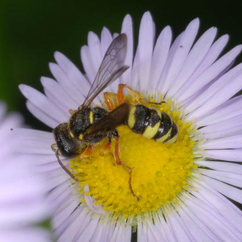 Aculeate Wasps : (Crabronidae) Cerceris sabulosa