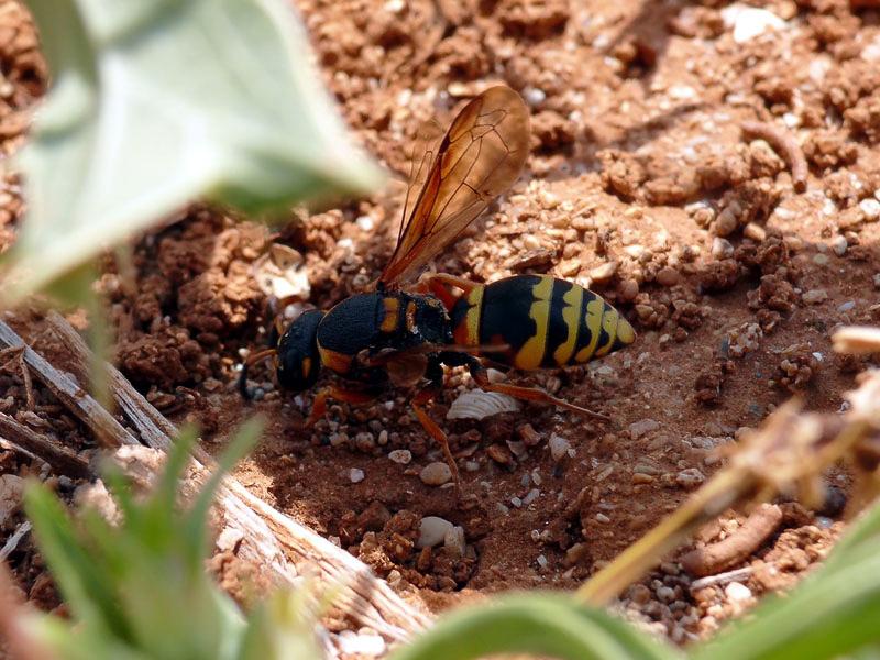 Aculeate Wasps : (Vespidae) Tropidodynerus flavus