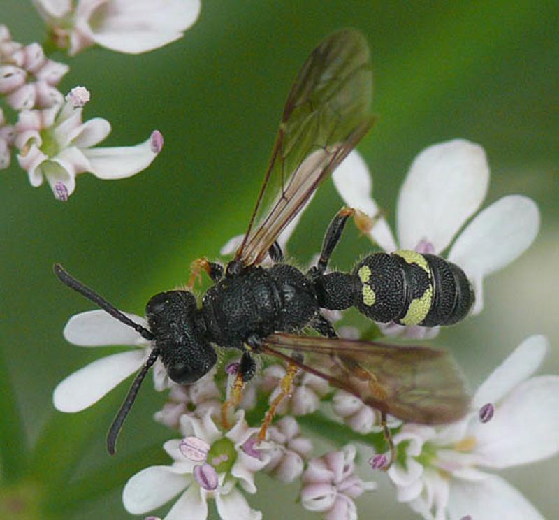 Aculeate Wasps : (Crabronidae) Cerceris rubida