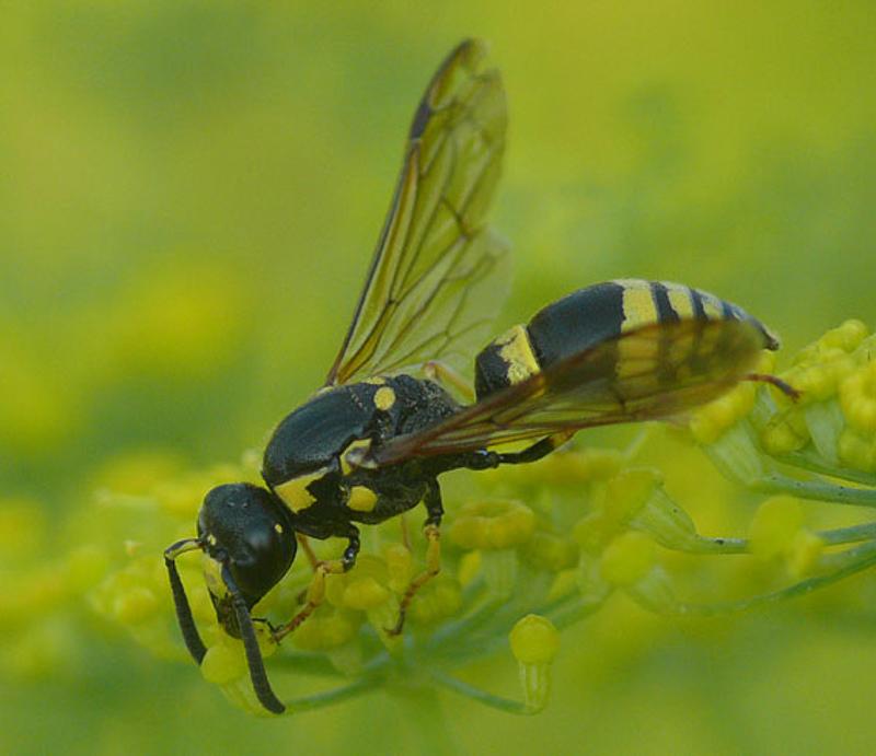 Aculeate Wasps : (Vespidae) Symmorphus crassicornis