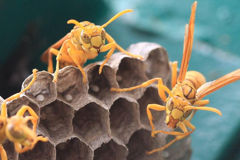 Aculeate Wasps : (Vespidae) Polistes hebraeus
