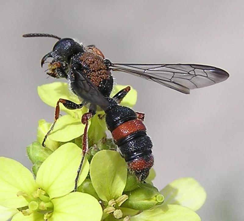 Aculeate Wasps : (Crabronidae) Cerceris concinna
