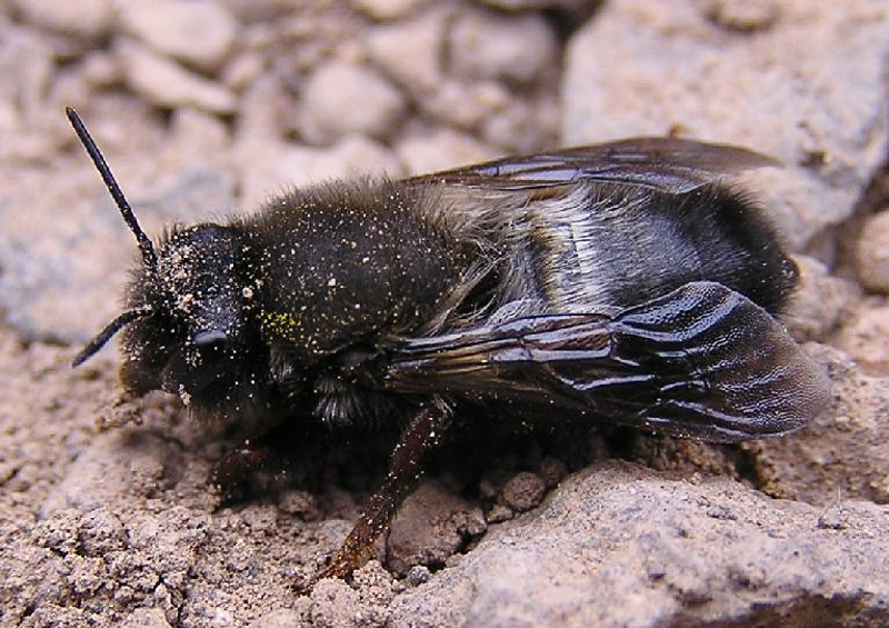 Bees : (Megachilidae) Megachile canescens