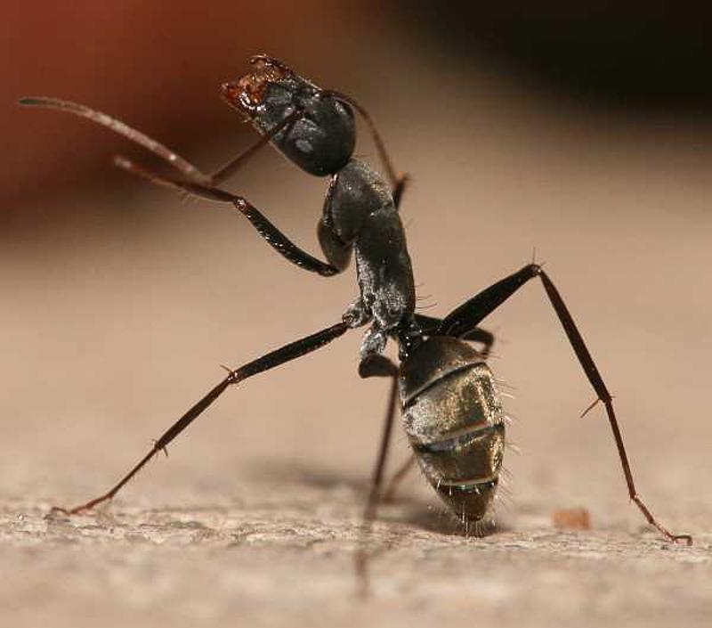 Ants : (Formicidae) Camponotus flavomarginatus