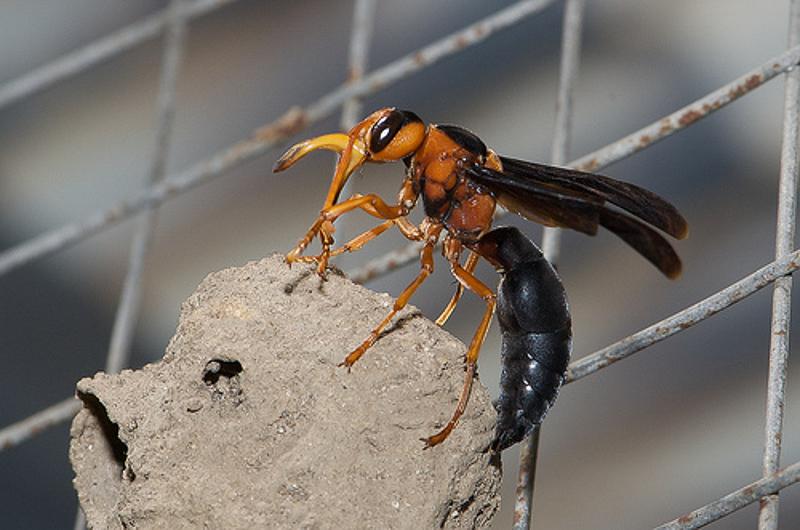 Aculeate Wasps : (Vespidae) Synagris cornuta