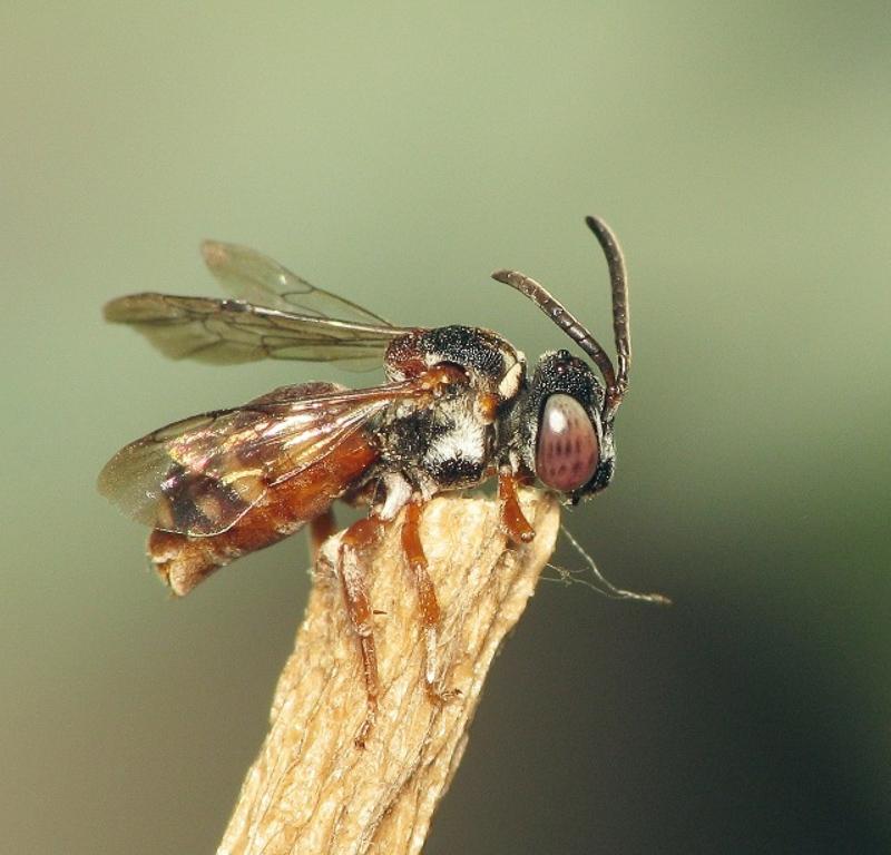 Bees : (Apidae) Epeolus marginatus