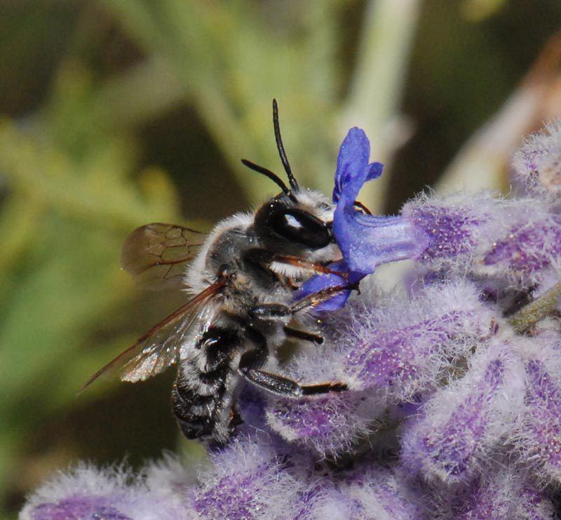 Bees : (Megachilidae) Megachile pyrenaica