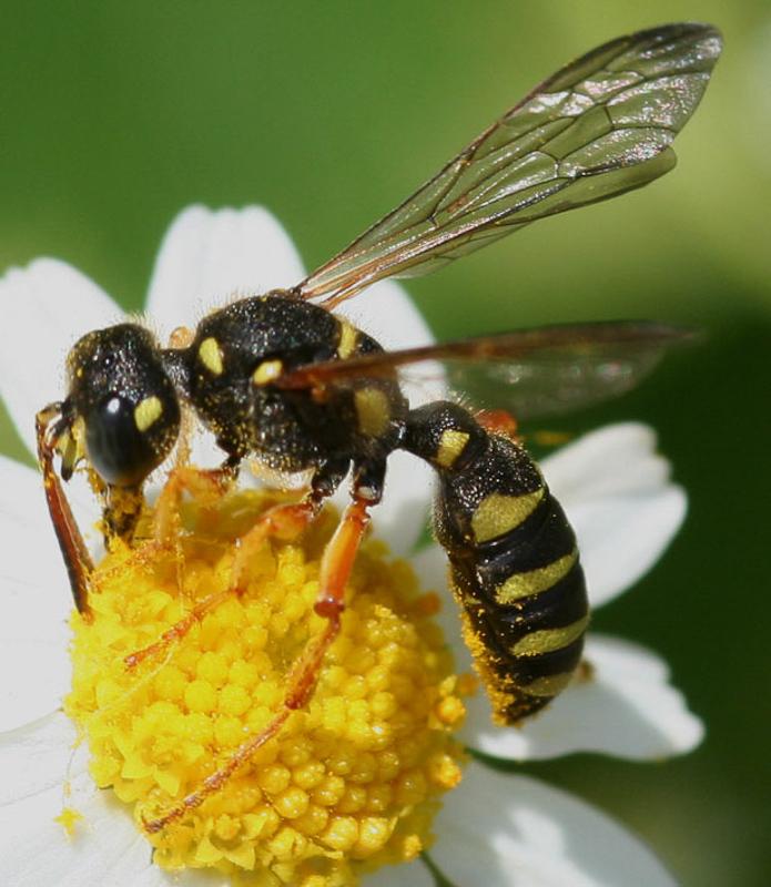Aculeate Wasps : (Crabronidae) Cerceris flavilabris