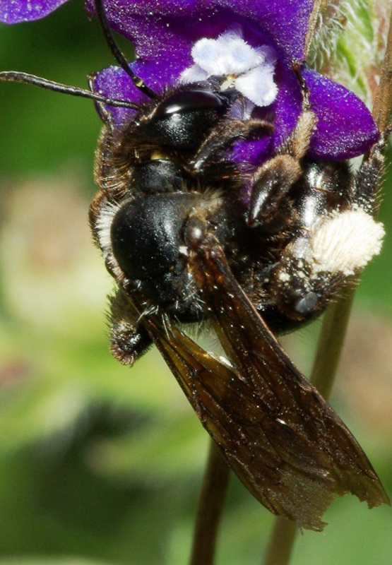 Bees : (Andrenidae) Andrena nasuta