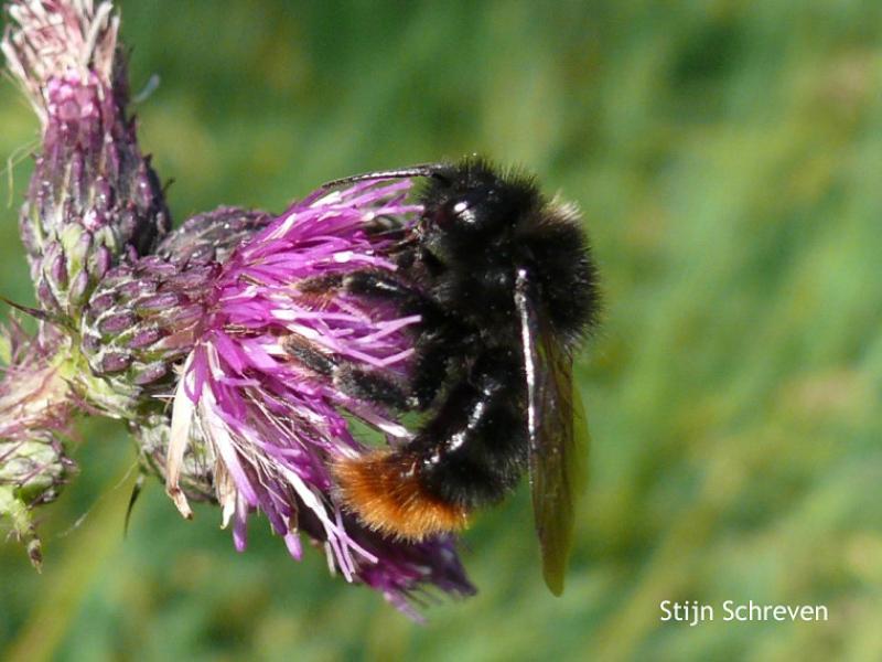 Bees : (Apidae) Bombus rupestris