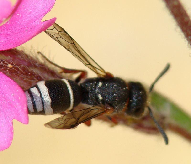 Aculeate Wasps : (Vespidae) Alastor antigae
