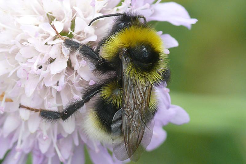 Bees : (Apidae) Bombus bohemicus