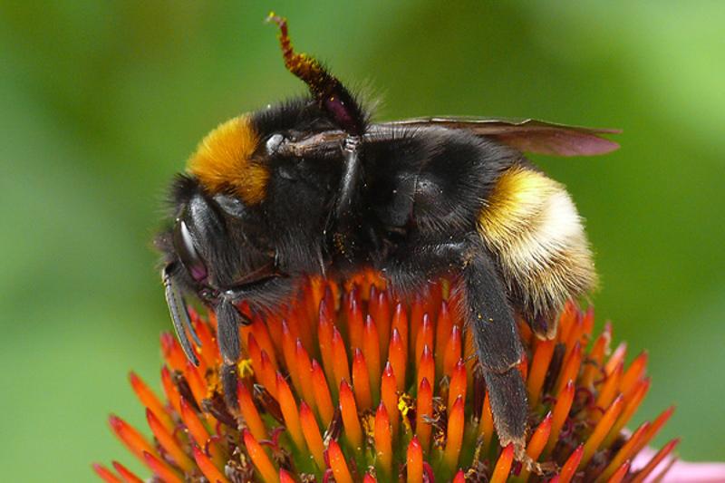 Bees : (Apidae) Bombus vestalis
