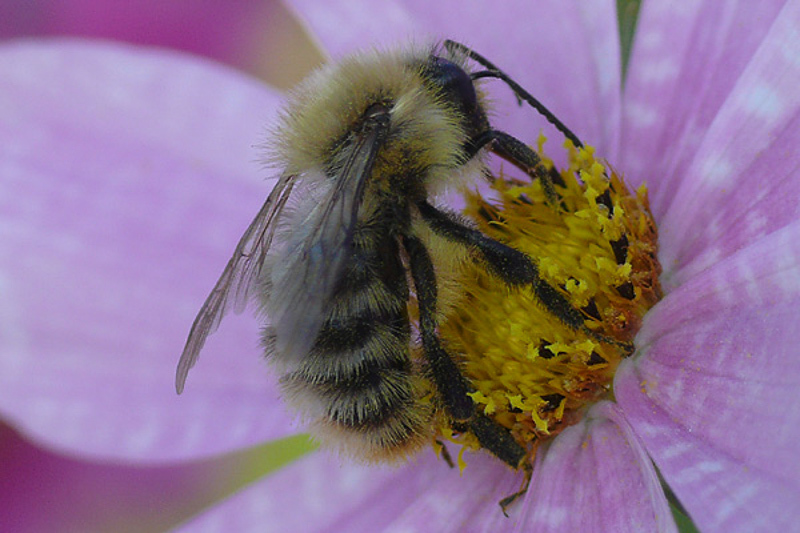 Bees : (Apidae) Bombus pascuorum