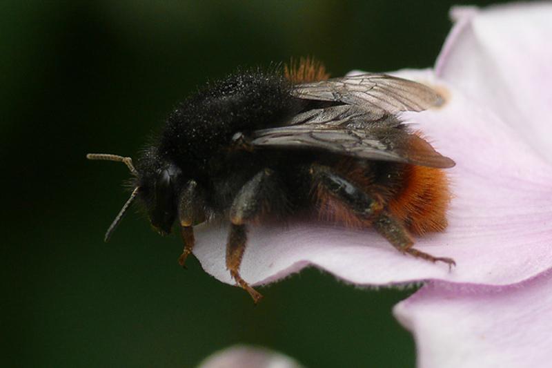 Bees : (Apidae) Bombus ruderarius