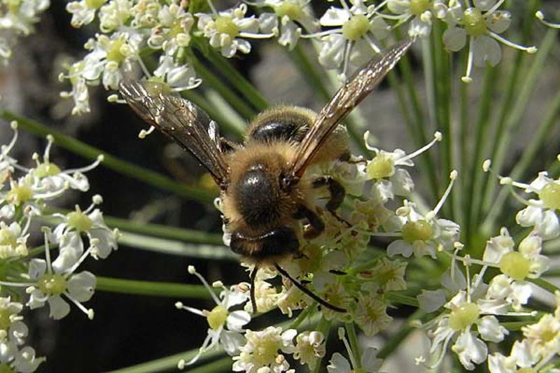 Bees : (Andrenidae) Andrena nuptialis