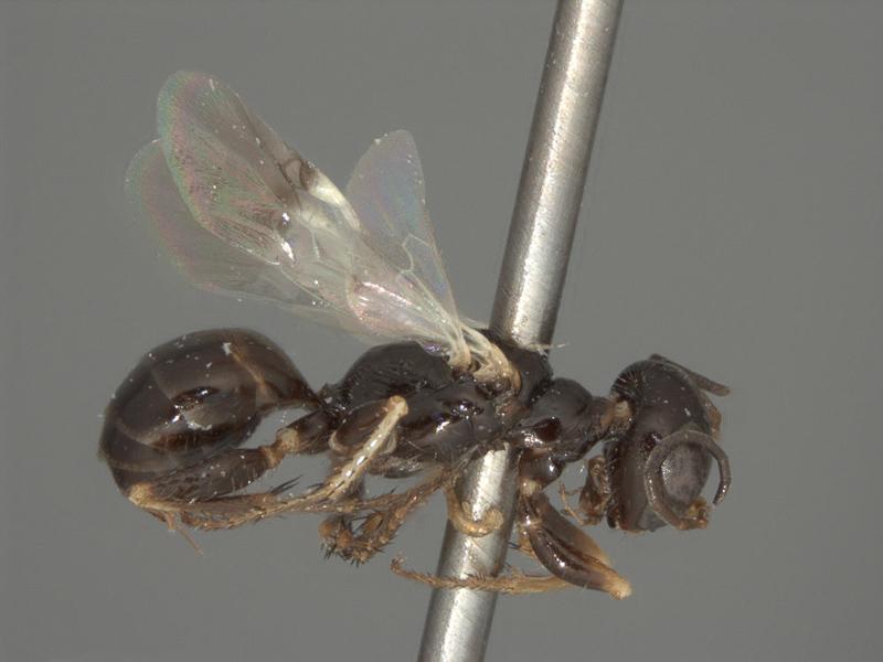 Aculeate Wasps : (Crabronidae) Diploplectron palearcticum