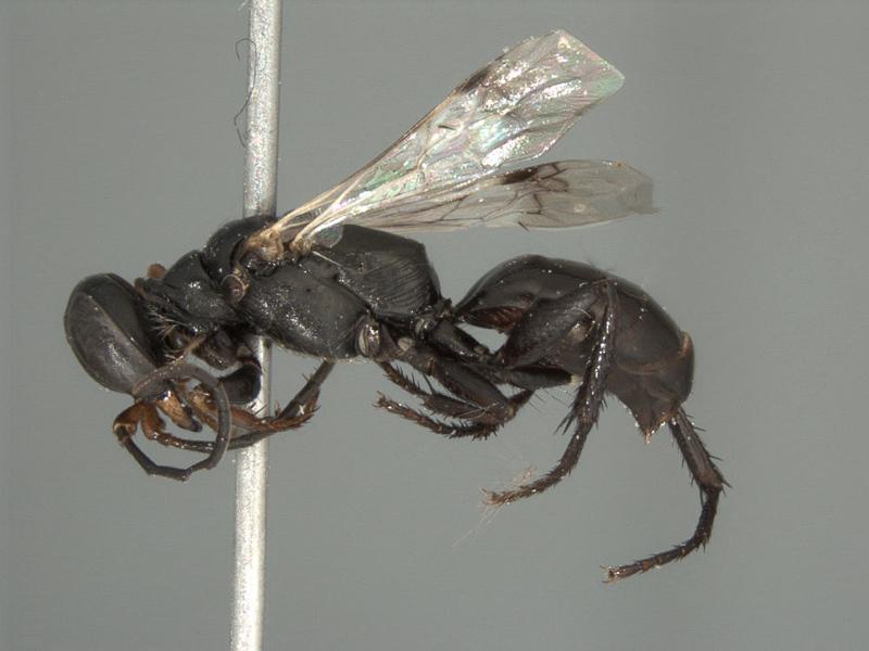Aculeate Wasps : (Crabronidae) Dryudella arabica