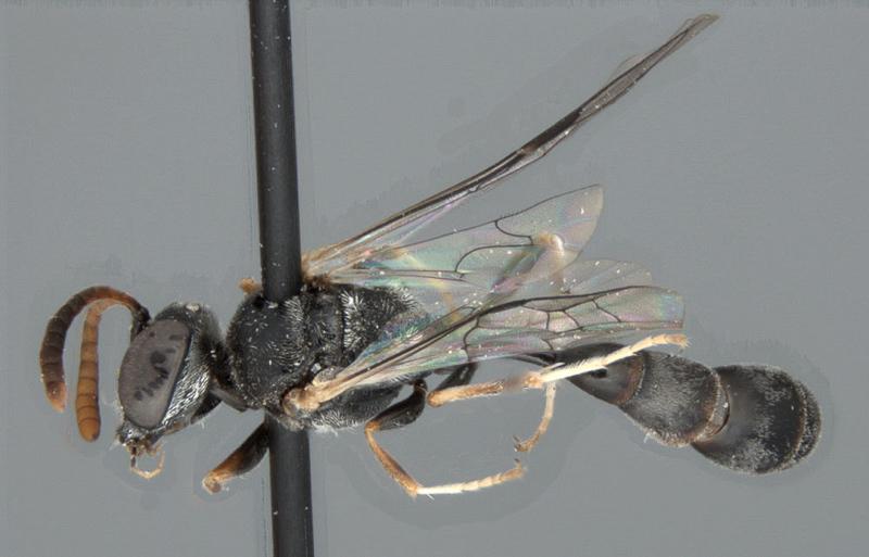Aculeate Wasps : (Crabronidae) Mimesa scheucheli