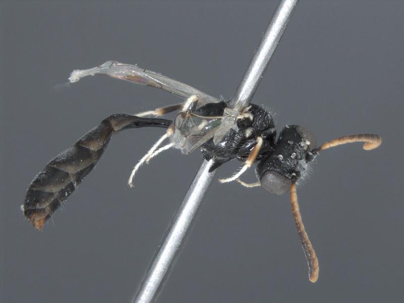 Aculeate Wasps : (Crabronidae) Mimesa sublaevis