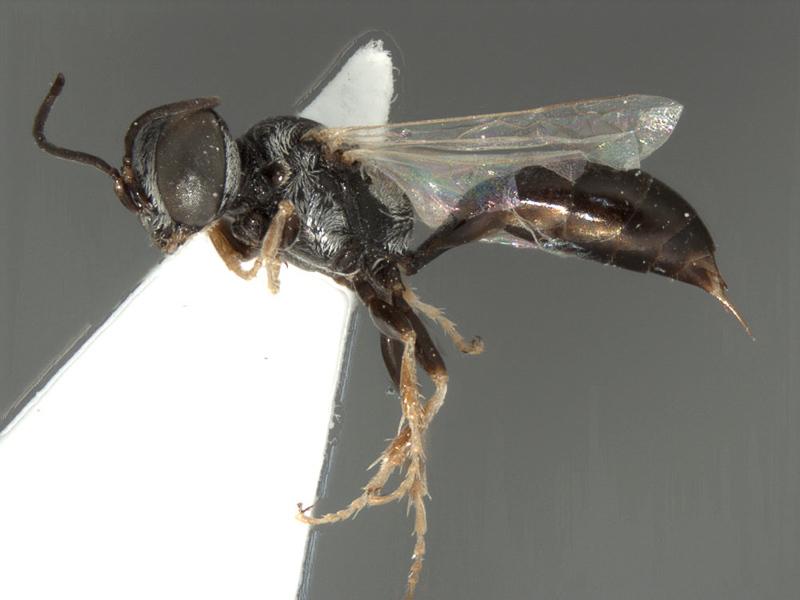 Aculeate Wasps : (Crabronidae) Parapiagetia arabica