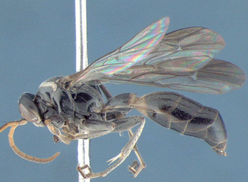 Aculeate Wasps : (Rhopalosomatidae) Liosphex atratus