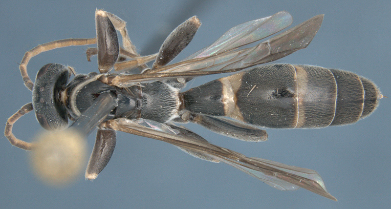 Aculeate Wasps : (Rhopalosomatidae) Liosphex boreus