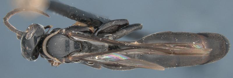 Aculeate Wasps : (Rhopalosomatidae) Liosphex micropterus