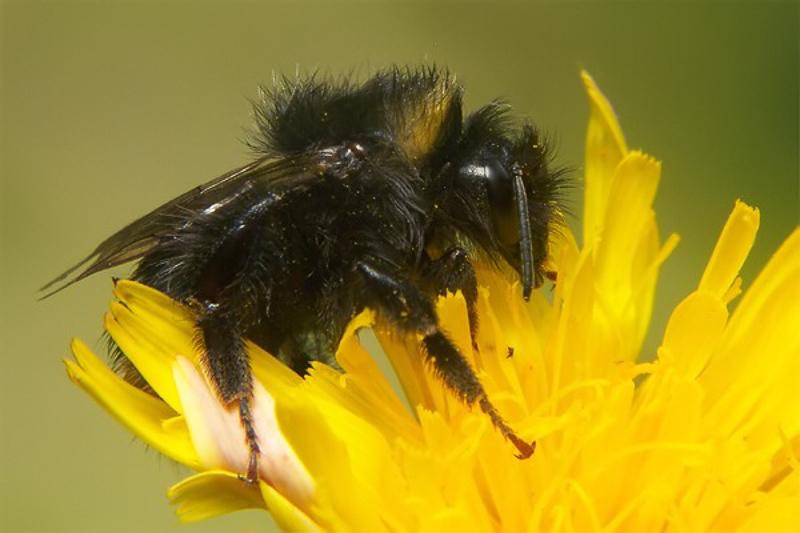 Bees : (Apidae) Bombus lucorum