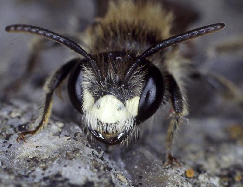 Bees : (Andrenidae) Andrena lathyri