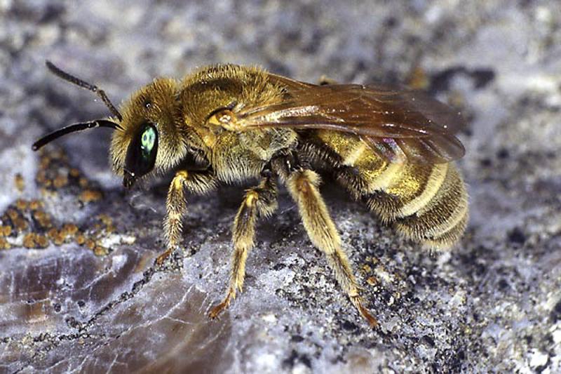 Bees : (Apidae) Halictus subauratus