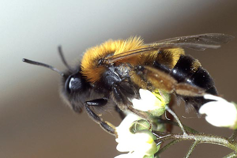 Bees : (Andrenidae) Andrena tscheki