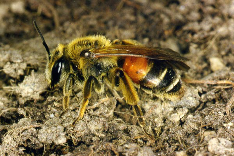 Bees : (Andrenidae) Andrena schencki
