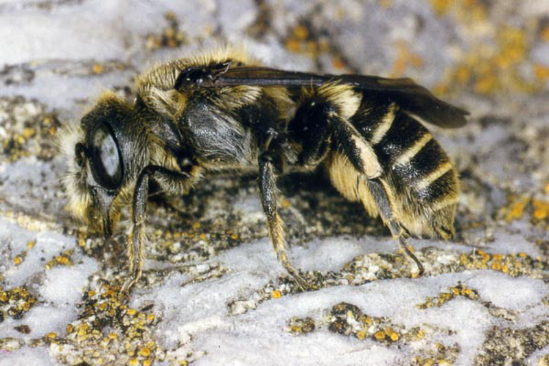 Bees : (Megachilidae) Hoplitis adunca