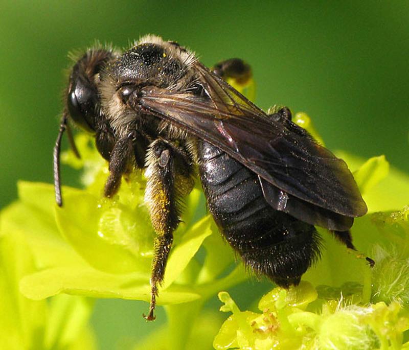 Bees : (Andrenidae) Andrena nigrospina