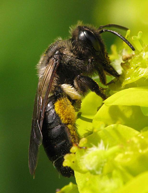 Bees : (Andrenidae) Andrena pilipes